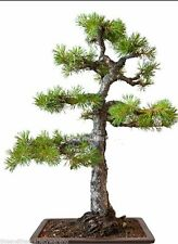 New listing Pinus sylvestrus 10 Seeds Scots Pine Tree Also Scotch Pine Blue-green needles