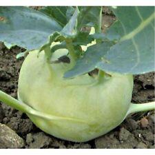 Cabbage Kohlrabi Giant Seeds NON GMO Rare Heirloom Vegetable