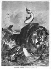 Wal, Wale, Kampf mit Blutsköpfen (Schwertwalen; Orcas), Original-Holzstich 1885