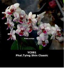 SEHR RARE Orchidee Phalaenopsis Phal.Tying Shin World Cl. x Lioul Сl. pelorisch