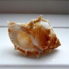 1 PC Decorative Seashells Spiral Sea Shell Conch Nautical Decor DIY Crafts 3-6cm