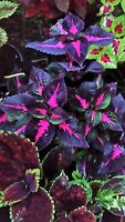 Rare Coleus Perilla plant purple foliage house shade sun FREE POSTAGE