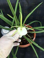 B. Grande Stars 'B. Little Stars X B. Nodosa' Large Healthy Orchid Plant