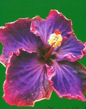 **HEART OF DARKNESS** Rooted Tropical Hibiscus Plant**Ships In Pot**