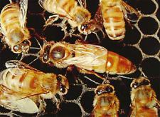 Practical Queen Bee Rearing – By: Frank C. Pellet – Book on CD