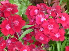 Rockin Red Dianthus, great little red flower perennial bare root plant