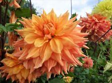 1 oder 3 Schmuck Dahlien Arbatax  Knolle Blumenzwiebeln Dahlie