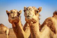 A1 | Camel Pair Poster Art Print 60 x 90cm 180gsm Camels Egypt Desert Gift #8278
