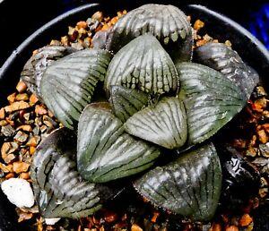 Succulent - Haworthia 'red mutica' hyb. offset