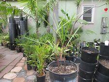 DYPSIS AMBOSITRAE / PLUMOSA PALM TREE  RARE
