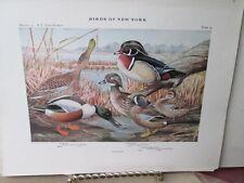 Vintage Print,WOOD DUCK+SHOVELER,Plate 14,Birds of New York,c1914,Fuertes