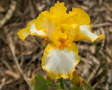 *Joyce Terry* Tall Bearded Iris. Freshly Dug, Combined Shipping: Feb/Mar