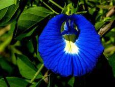 BUTTERFLY PEA 30+ seeds blue flower garden Asian pigeonwings darwin perennial