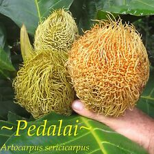 ~PEDALAI~ Artocarpus sericicarpus the HOLY GRAIL of BORNEO FRUITS Live Med Plant