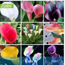 100P - 200Pcs Calla Lily Seeds Exotic 9 Kind Beauty Perennial Treatment Headache