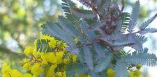 8 graines Mimosa pourpre(Acacia Baileyana purpurea)G869 COOTAMUNDRA WATTLE SEEDS