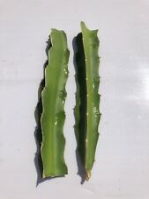 2 White Dragon Fruit No Root Live Plant Pitaya Cactus Fresh Cut