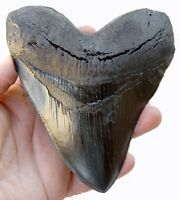 5.5 Inch Megalodon Shark Tooth (replica 126) (Carcharocles megalodon)