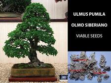 OLMO SIBERIANO SEMI - ULMUS PUMILA SIBERIAN ELM VIABLE SEEDS PRE BONSAI