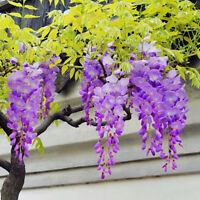 30Pcs Wisteria Flower Seeds Home Garden Perennial Climbing Plants Ornament Hot