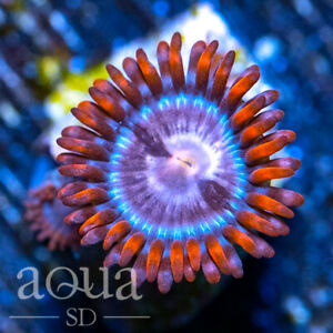 ASD - 006 Ring of Fire Zoanthids - Aqua SD Live Coral Frag
