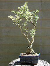 Mount Fuji Serissa Snow Rose Bonsai Tree  Flowers #3767
