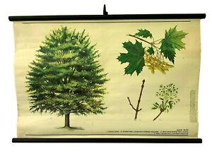 Original Vintage Maple tree pull down, Deciduous trees Botanical school chart
