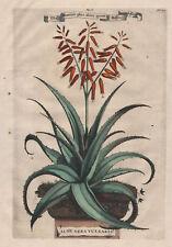 ALOE Vera Costa Spinosa - Kupferstich aus Munting 1696 schön koloriert