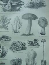 ANTIQUE PRINT C1870S FUNGUS ENGRAVING PLANTS NATURE BOLETUS MORCHELLA BOTANY