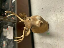 Whitetail Buck Head Taxidermy Mount  Deer
