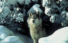 Framed Print - Alaskan Wolf Emerging from his Snowy Den (Picture Poster Art)