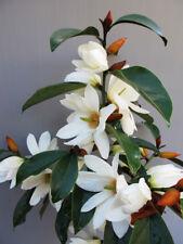Magnolia Fairy White  in 9cm pot