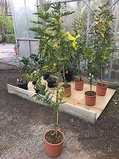 Acacia amata Zimmerakazie Kängurudorn Känguru-Akazie Zimmer-Akazie Zimmerpflanze