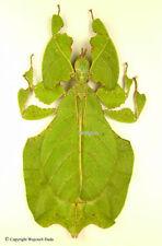 Phyllium bioculatum, beautiful, green form, spread