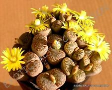 RARE LITHOPS BROMFIELDII @J@ mesembs living stone rock plant seed 15 SEEDS
