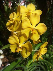 Orchid Vanda Fuchs Gold x Mem Thianchai in bloom Mad Happenings Plants
