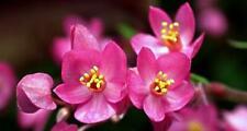 Chinese Love Vine 10 Seeds - Antigonon leptopus
