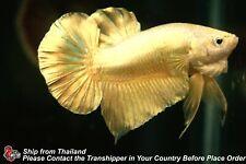 New listing Live Betta Fish Golden Male Hmpk #C280
