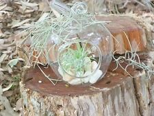 Apple Glass Terrarium Indoor Air Plant Tillandsia Ionantha  Quartz Rocks