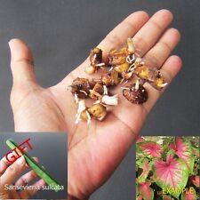 7 Bulbs Caladium Ronthong Plant Colourful Tropical   + FREE GIFT