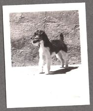 Vintage Photograph 1930S Wire Hair Fox Terrier Dog Posing On Leash Mexico Photo