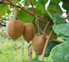 KIWI VINE  *  HARDY  *  CLIMBING  * EDIBLE FRUIT  * 20 SEEDS *