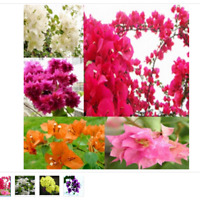 100 seeds Bougainvillea seeds, potted seeds, flower seeds, variety complete,