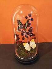 Real Butterfly Dome Glass Insect Rare Display Art Taxidermy Moth Display Decor 5