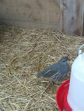 California Valley Quail 12 Hatching Eggs Npip Certified shipping now!