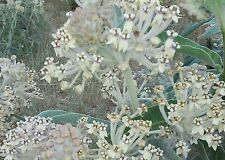 New listing Asclepias eriocarpa Indian Milkweed 25 seeds Ca Monarch native hostplant