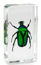 Real Green Rose Chafer Beetle Insect Paperweight Specimen Taxidermy