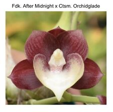 Fdk After Midnight 'Svo Dark Beauty' Fcc/Aos X Ctsm Orchidglade 'Jtm' (12)