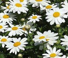 Creeping Daisy Flower Seeds - Bulk - 7,000 Seeds *