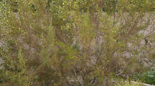 5 EXTREMELY RARE CREOSOTE BUSH UPRIGHT VARIETY FRESH CUTTINGS - ONLY SOURCE!